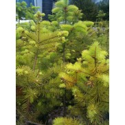 Douglas fir - live, potted