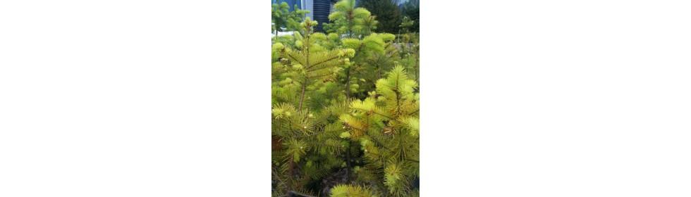 Douglas fir - live, potted