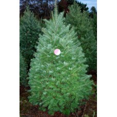 Douglas Fir - hotel size, 10 ft+